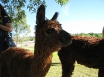 Alpacas at Windy Hill