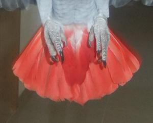 Psittacus erithacus tail